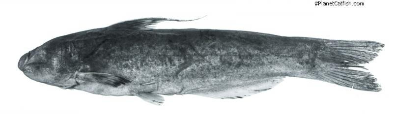 Cetopsis fimbriata