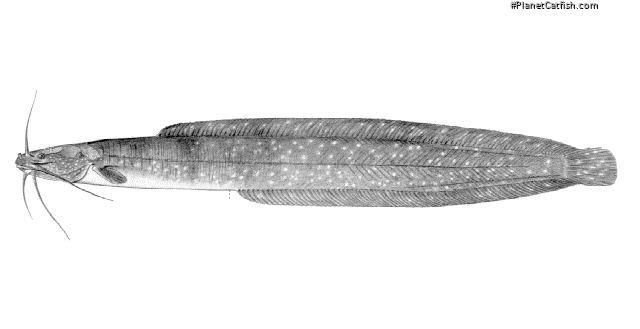 Clariallabes heterocephalus