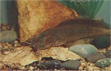 Clarias angolensis