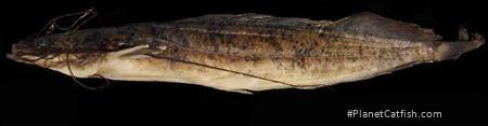 Clarias platycephalus