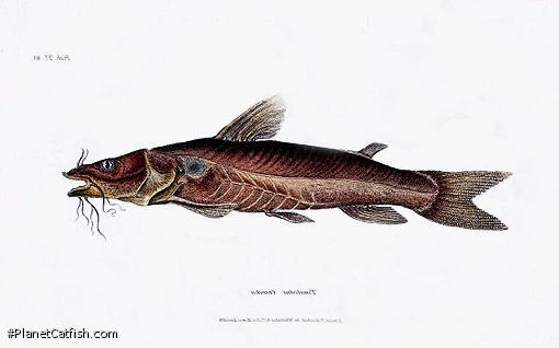 Chrysichthys cranchii