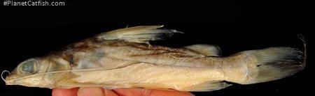 Chrysichthys longibarbis
