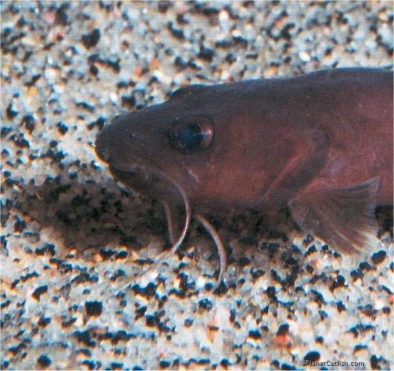 Phyllonemus filinemus