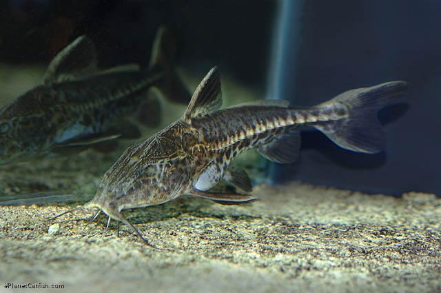 Oxydoras niger