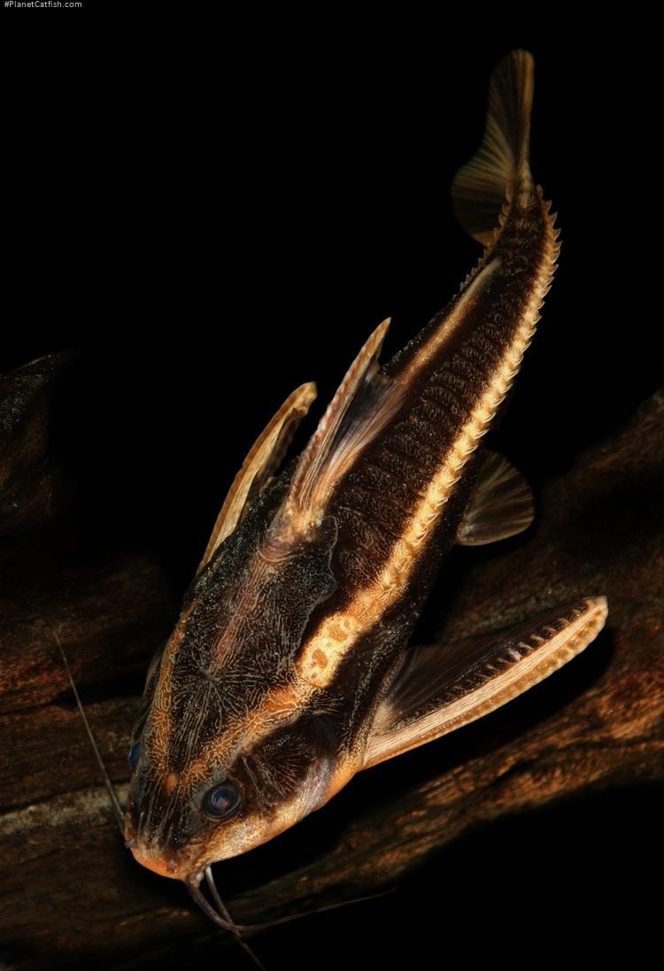 Platydoras armatulus