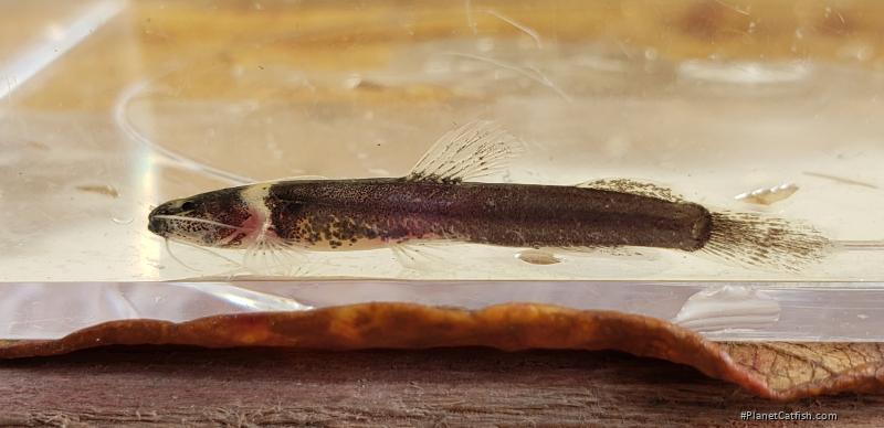 Pariolius armillatus
