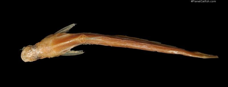 Pseudeutropius mitchelli