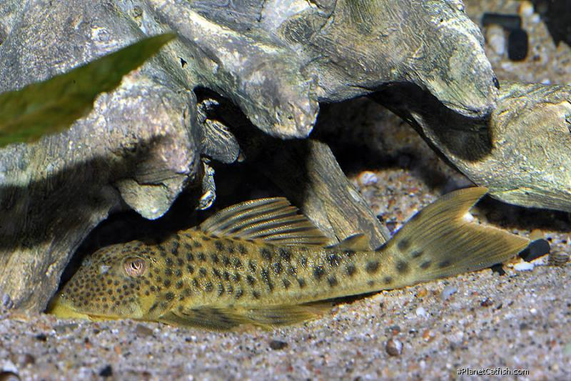 Ancistomus spilomma