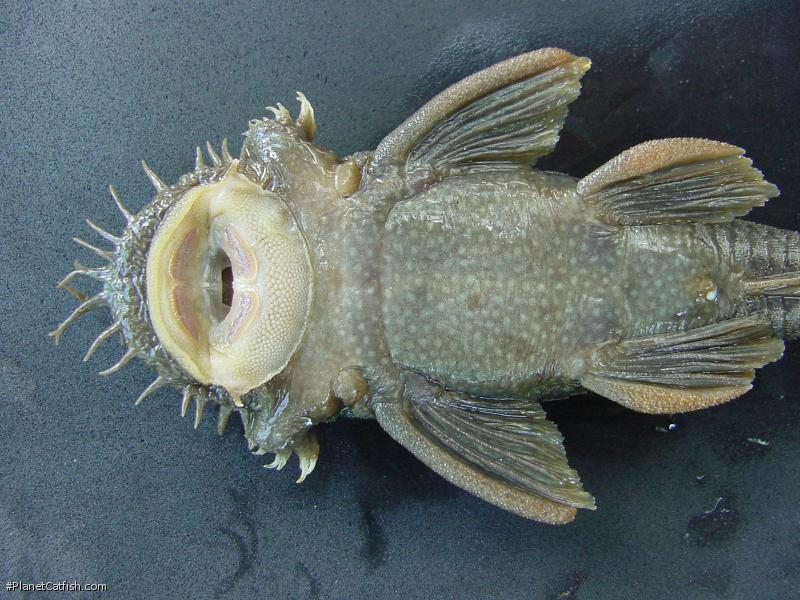 Ancistrus falconensis