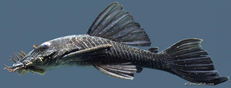 Ancistrus nudiceps