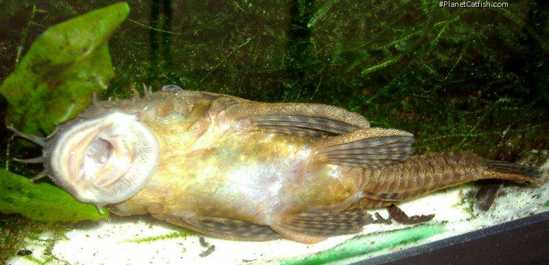 Ancistrus sp. `LOWER RIO NEGRO`
