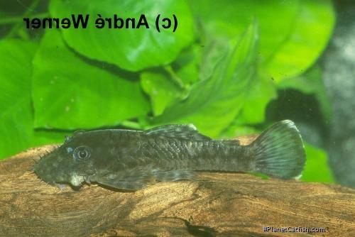 Ancistrus sp. (L279)