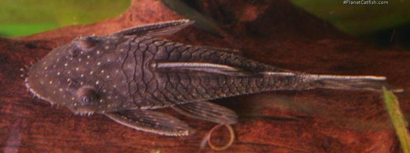 Ancistrus sp. (L349)