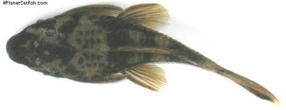 Ancistrus sp. (LDA016)
