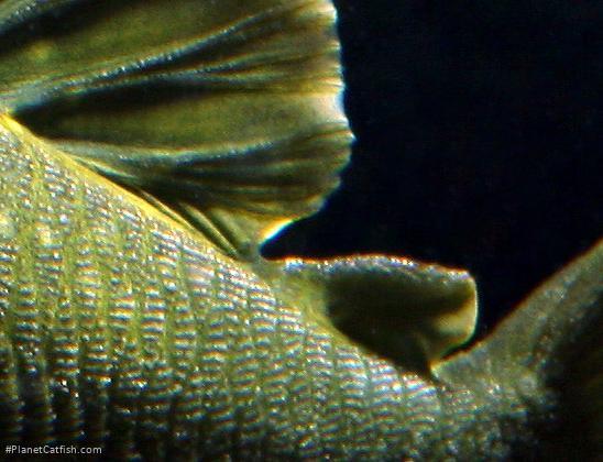Baryancistrus demantoides