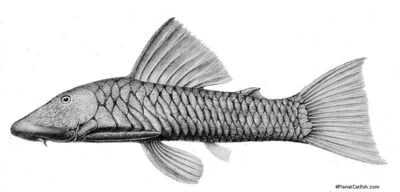 Chaetostoma breve