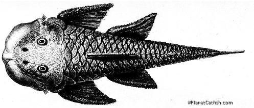Chaetostoma loborhynchos