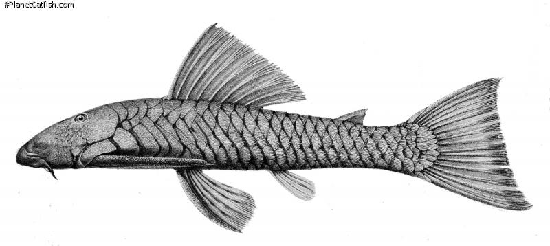 Chaetostoma marginatum