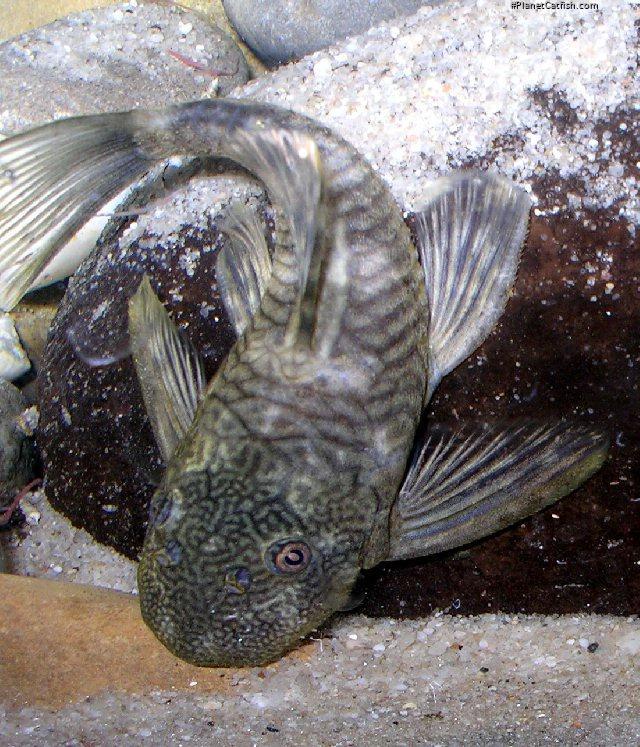 Chaetostoma sp. (5)