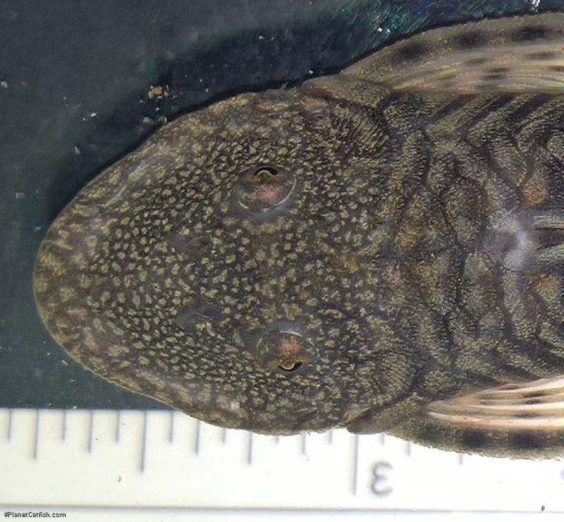 Chaetostoma sp. (6)