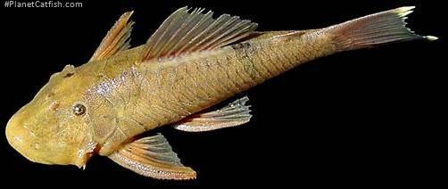 Chaetostoma yurubiense