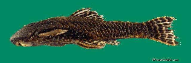 Corymbophanes kaiei