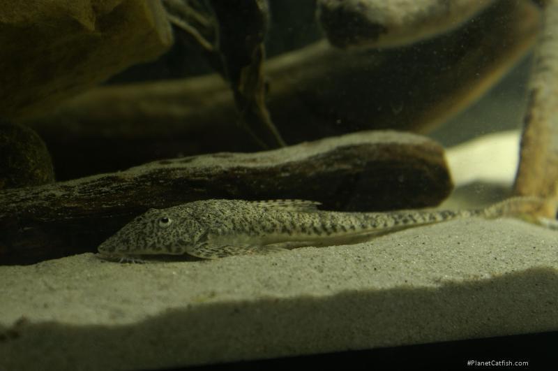 Crossoloricaria cephalaspis