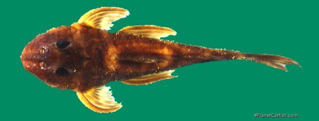 Delturus angulicauda