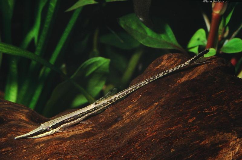 Farlowella curtirostra