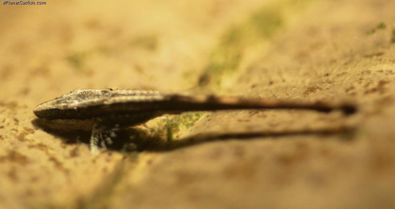 Farlowella platorynchus