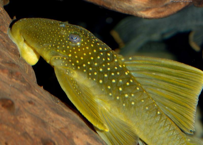 Hemiancistrus subviridis