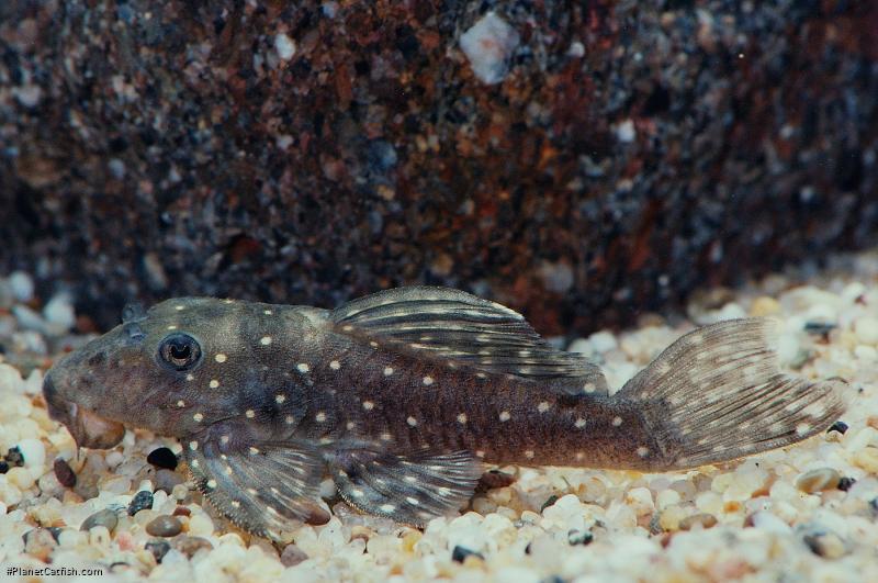 Hypancistrus sp. (L004)