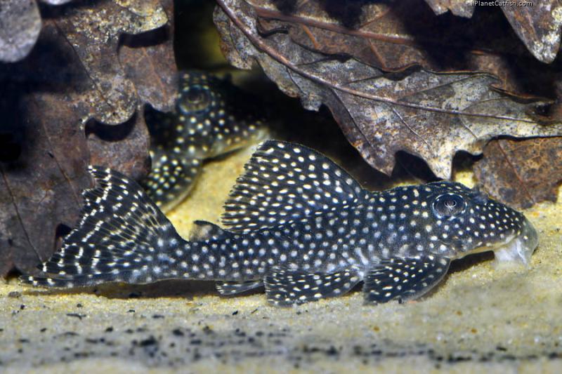 Hypancistrus sp. (L136)