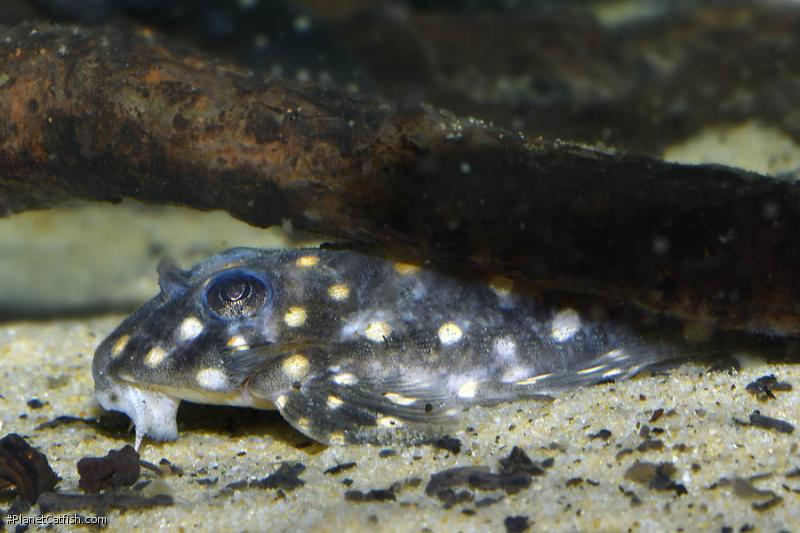 Hypancistrus sp. (L201)
