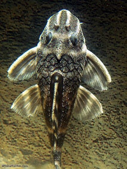 Hypancistrus sp. (L316)
