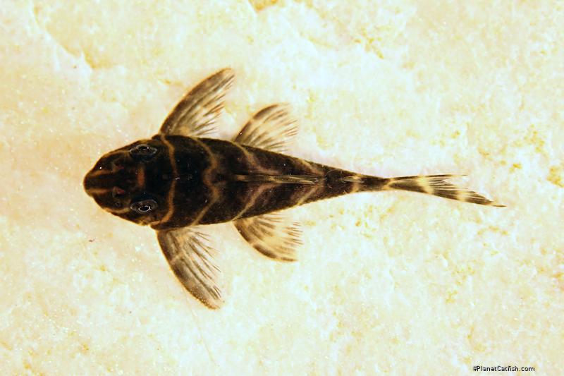 Hypancistrus sp. (L454)
