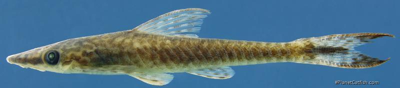 Hypoptopoma guianense