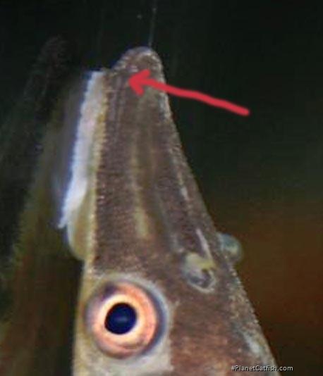 Hypoptopoma inexspectatum