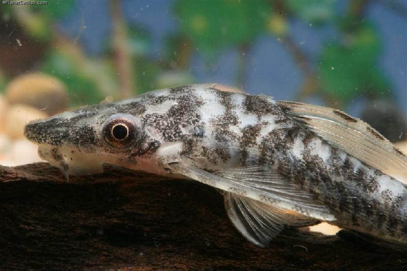 Hypoptopoma sp. (4)