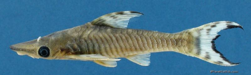 Hypoptopoma steindachneri