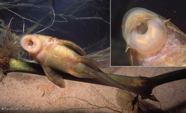 Hypostomus ancistroides