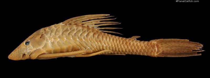 Hypostomus annectens