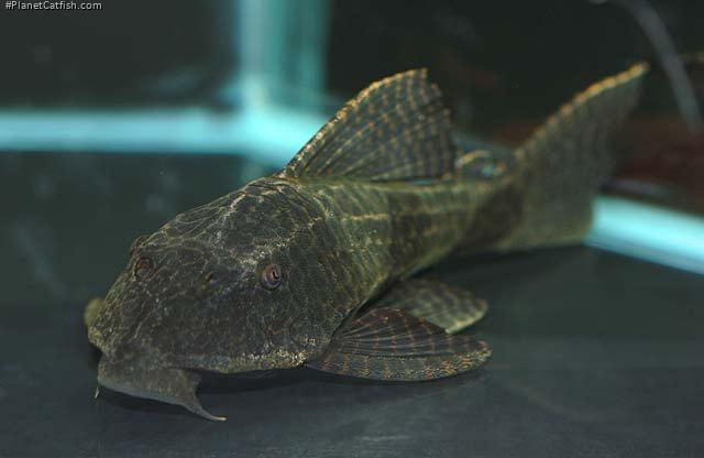 Hypostomus borellii