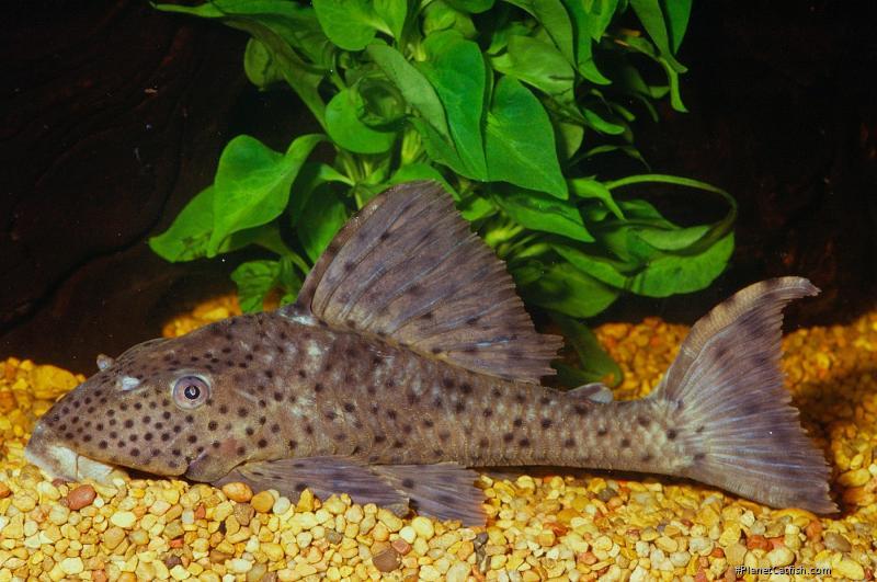 Hypostomus cf. cochliodon
