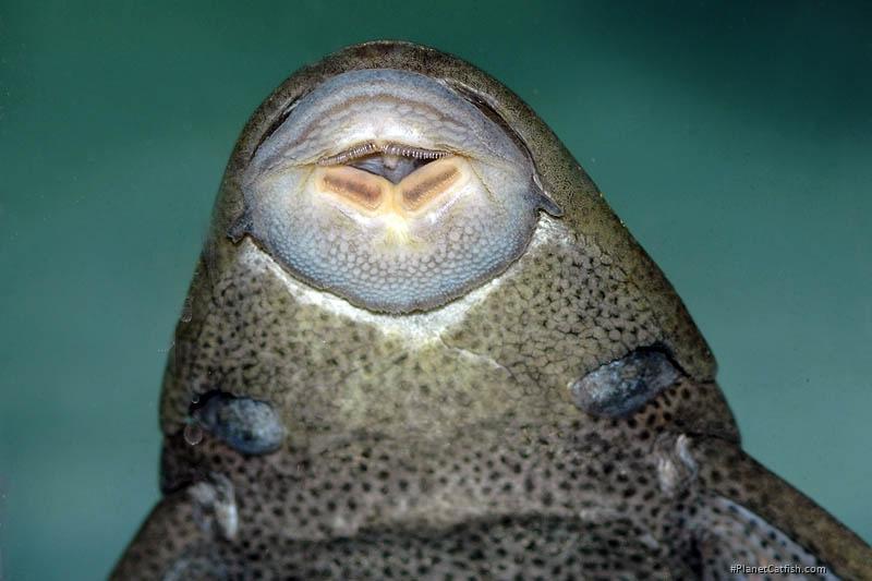 Hypostomus commersoni