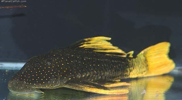 Hypostomus luteus