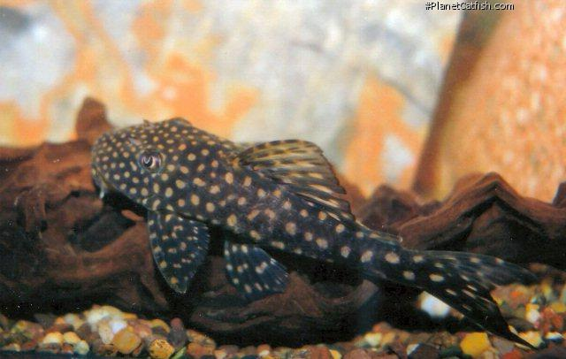 Hypostomus margaritifer