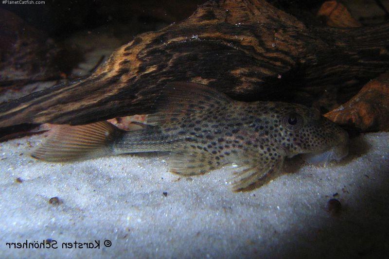 Hypostomus micromaculatus