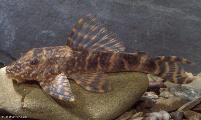 Hypostomus peckoltoides