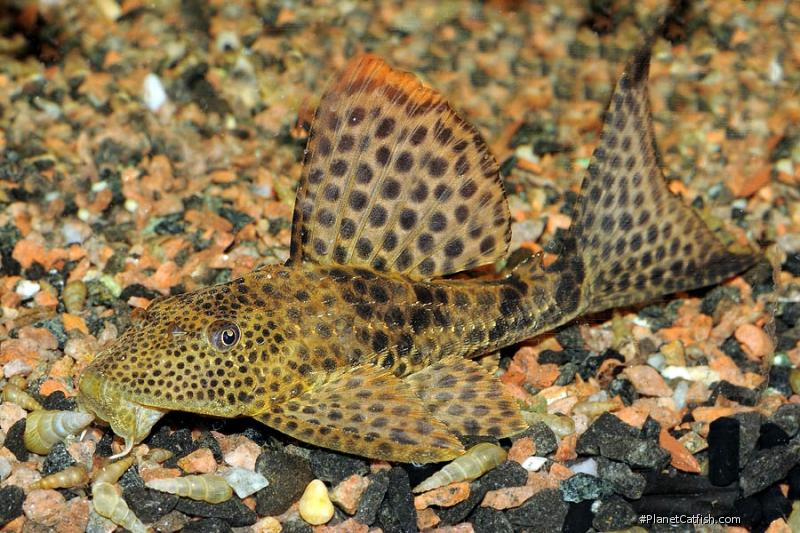 Hypostomus punctatus